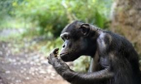 なぜチンパンジーは半身不随でも幸福なのか?イライラを収める驚きの仕組み